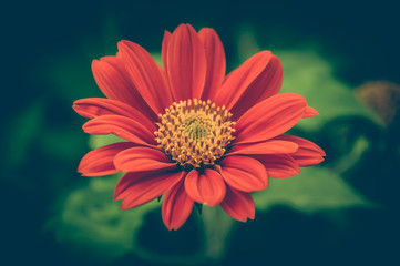 Vintage photo of red flower. beautiful red gerbera and fluff