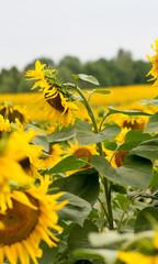 Sunflower filed