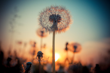 Photo sur Aluminium Pissenlit Rural field and dandelion at sunset