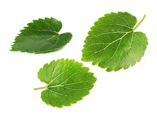 mulberry leaves isolated on the white background