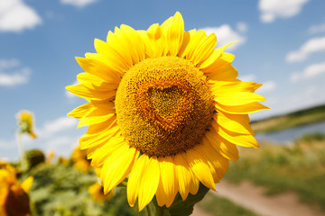 Heart shaped sunflower, close up photo