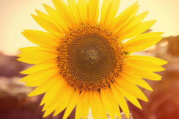 Sunflower close up, tinted photo