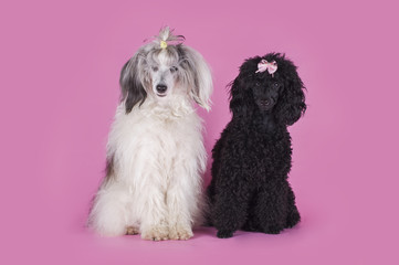Chinese Crested and Poodle on pink background