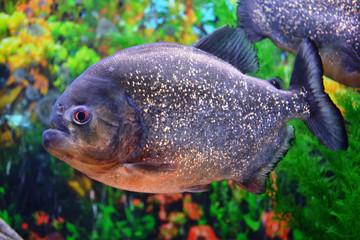 Piranha.Serrasalminae