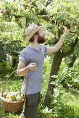 bearded boy farmer who gathers pears from tree with straw basket