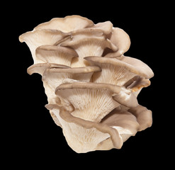 oyster mushrooms on a black background
