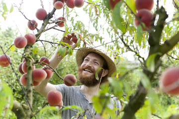 young bearded boy farmer who gathers peaches from the tree