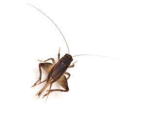 Cricket (Gryllus)