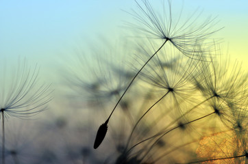 Photo sur Aluminium Zen Golden sunset and dandelion, meditative zen background