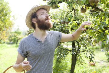 young bearded boy farmer who gathers pears from tree