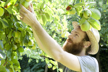 young bearded boy farmer who gathers pears from trees