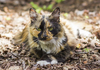 Beautiful Cat lying in the old autumn leaves