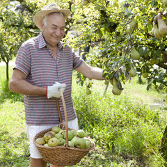 grandfather farmer who gathers pears with basket full of pears