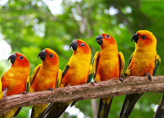 five conures parrots are sitting on a tree branch and turns to t