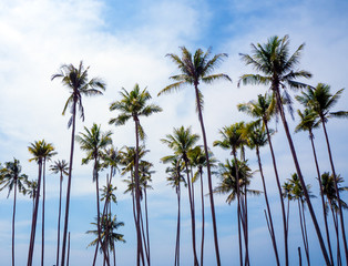 Coconuts trees against white cloud and blue sky