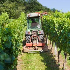 Weinreben im Weinberg