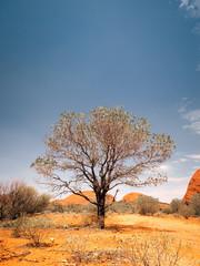 australia desert tree
