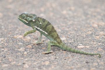 Small green chameleon cross tar road on a hot day