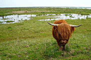 Door stickers Buffalo Schotse Hooglanders in de natuur