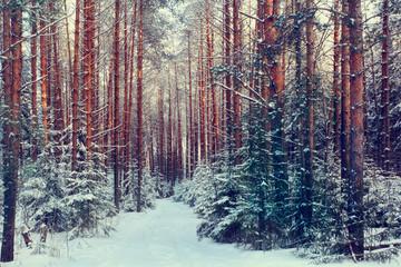 pine forest, winter, snow