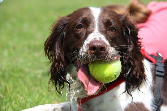 working english springer spaniel pet gundog with yellow ball
