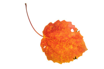Red autumn aspen leaf isolated on white
