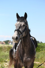Beautiful dark gray sport horse portrait