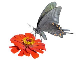Butterfly (Papilio maackii) 16