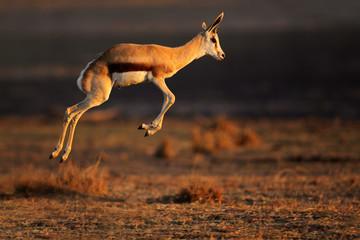 Springbok antelope jumping Wall mural