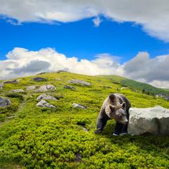 bear among stones on the hillside