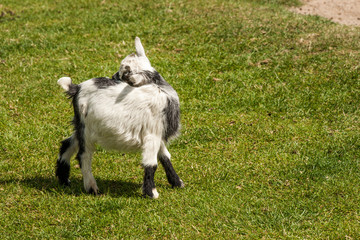 Young capra hircus goat on grass
