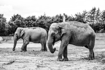 Black and white photo of elephants