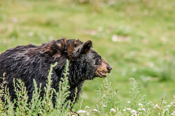 Big black american bear