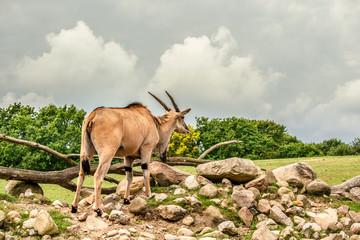 Eland antelope standing in beautiful nature