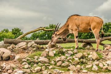 Eland antelope grassing on the savannah
