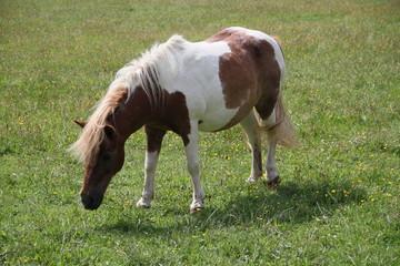 Geflecktes Ponny