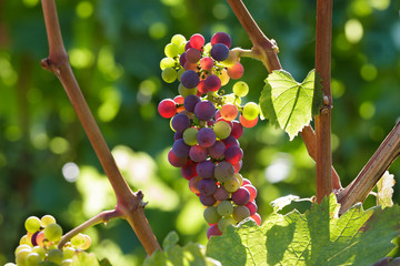 Farbenfrohe, junge Weintrauben