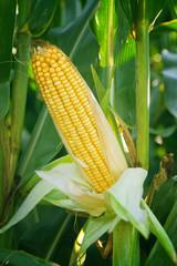 Corn Maize Ear on stalk in field