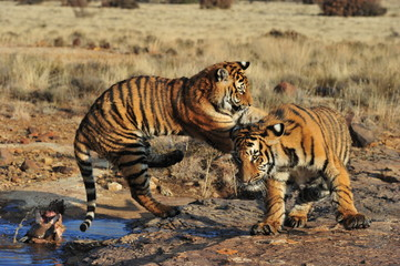 Wall Mural - Pair of young tigers play-fighting