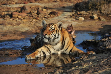 Wall Mural - Portrait shot of a young tiger at rest