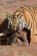 Wall Mural - A young tiger having its well-deserved feast
