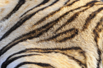 Closeup fur pattern of the Bengal Tiger