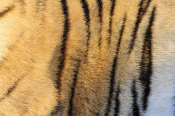 Closeup fur pattern of the Bengal Tiger