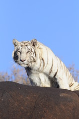 Wall Mural - Shot of a rare white tiger in the wild