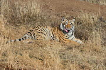 Wall Mural - Portrait shot of a young tiger having a rest