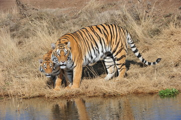 Wall Mural - Portrait shot of a Bengal Tiger with her cub