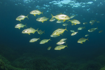 School of Amberjack fish