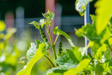 Growing vines