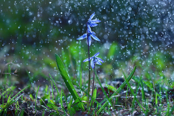 bluebell, flowers, drops of water, shower