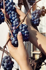 Woman's hands are taking down bunch of grapes in a garden